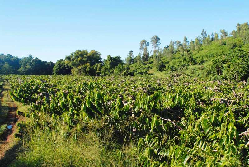 comment planter ylang ylang