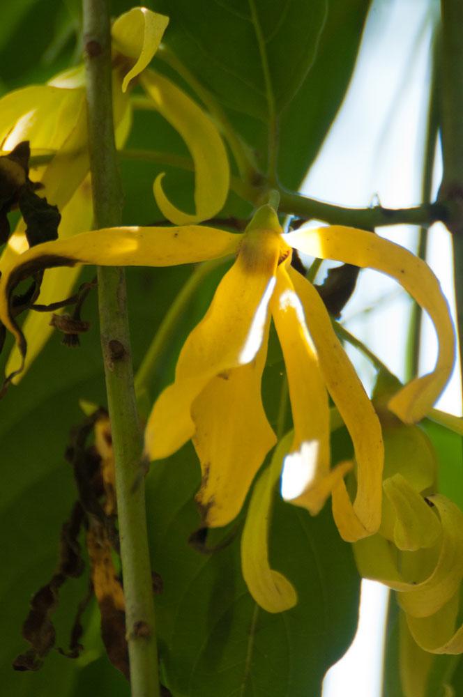 Le jardin tropical une for t au c ur de la ville de for Plante ylang ylang